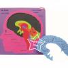 SKL-105 โครงสร้างสมอง